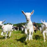 usfr-lambs-300x200
